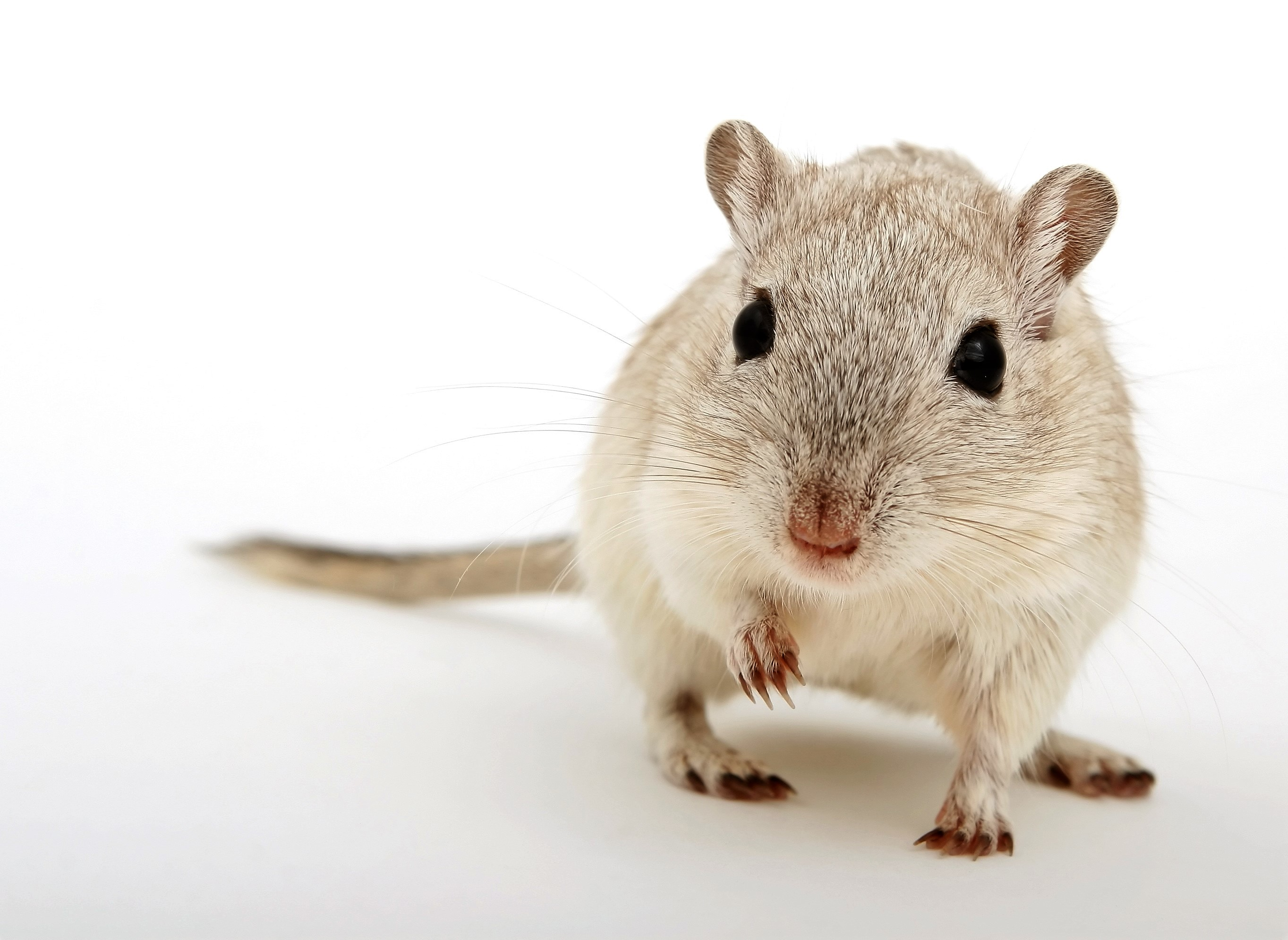 Photo of lab mouse